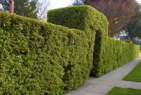 Best Shrubs For Privacy regarding sizing 3072 X 2048