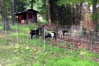 Goats Enjoying Their New Run Thanks To Our Electric Net Fence intended for size 1280 X 720