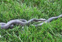 Ifthethunderdontgetya Black Rat Snake Fence in proportions 1600 X 899