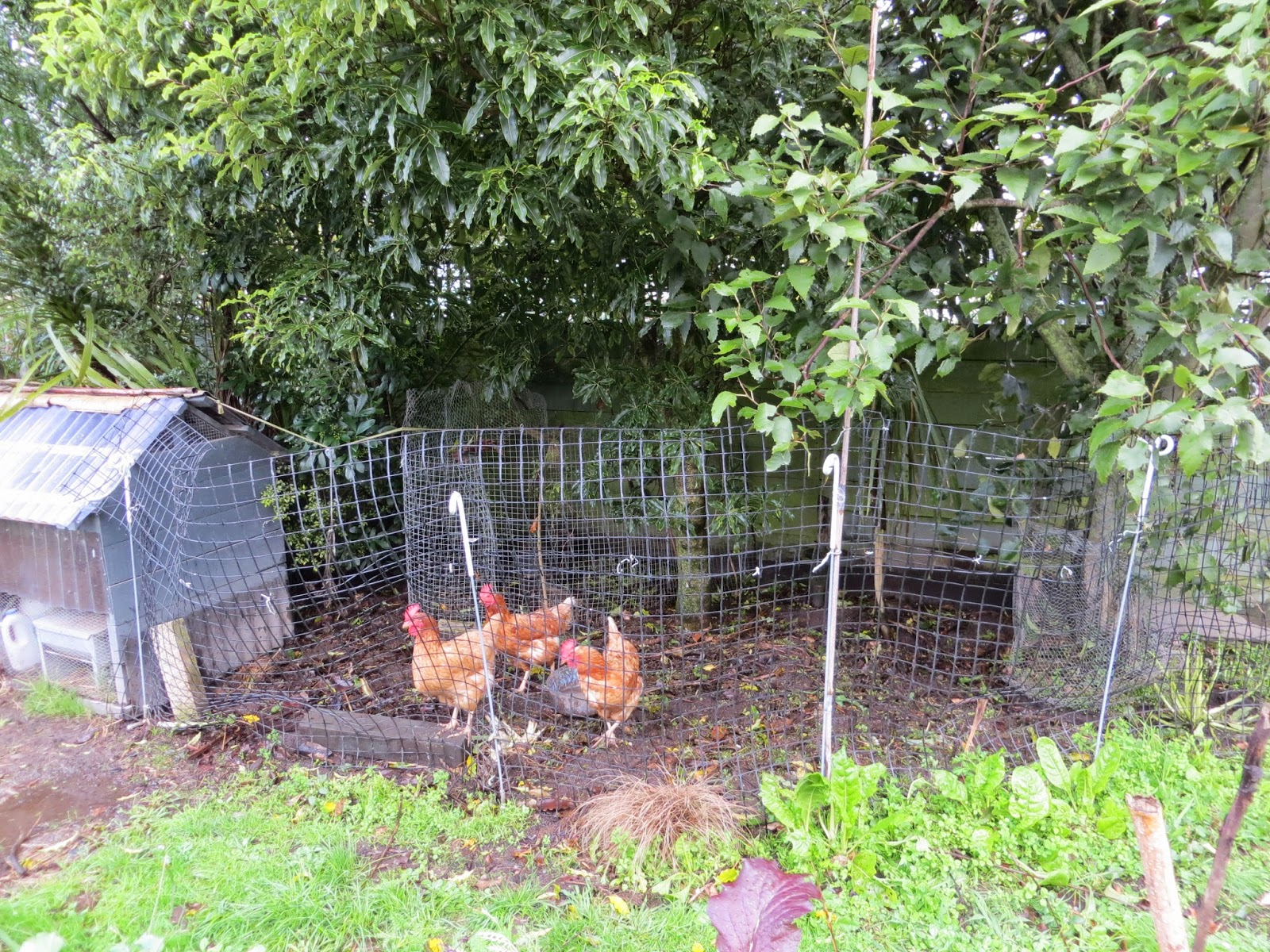 Keeping Chickens Nz Chicken Fencing Or Get Out Of My Garden With Regard To  Proportions 1600